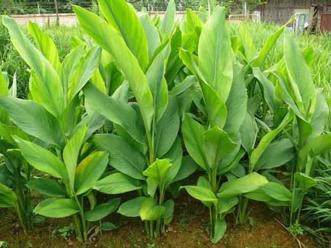 Cây Nghệ được trồng phổ biến tại Việt Nam.